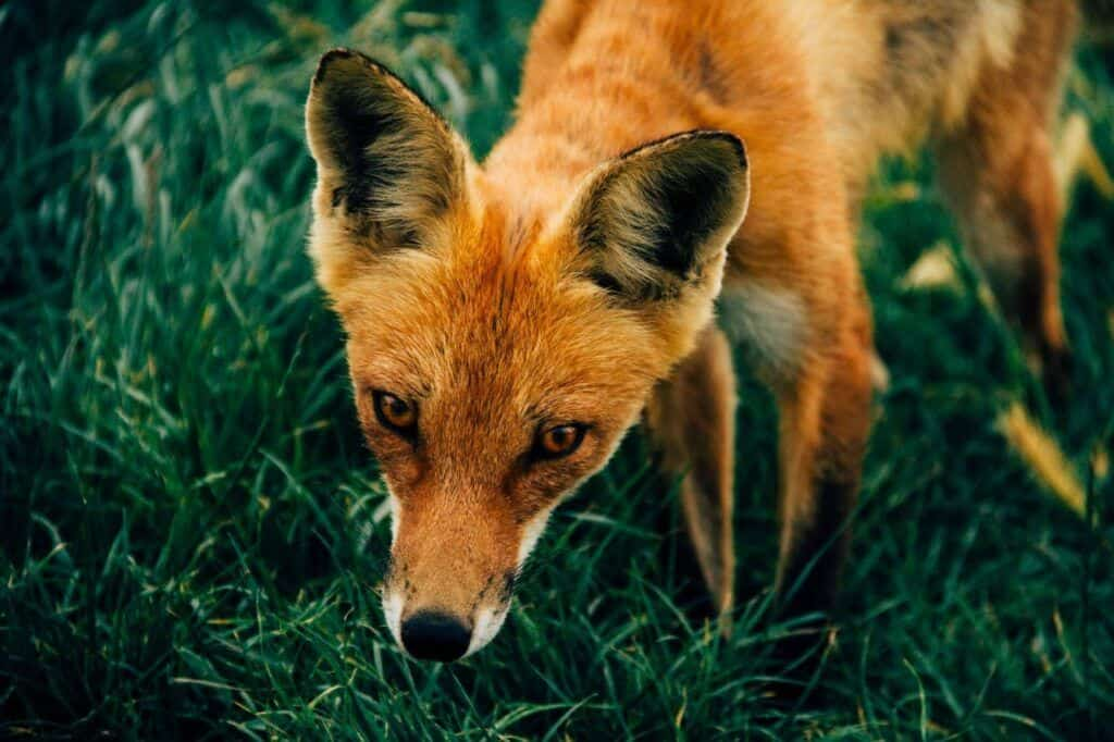Your spirit animal could be a fox