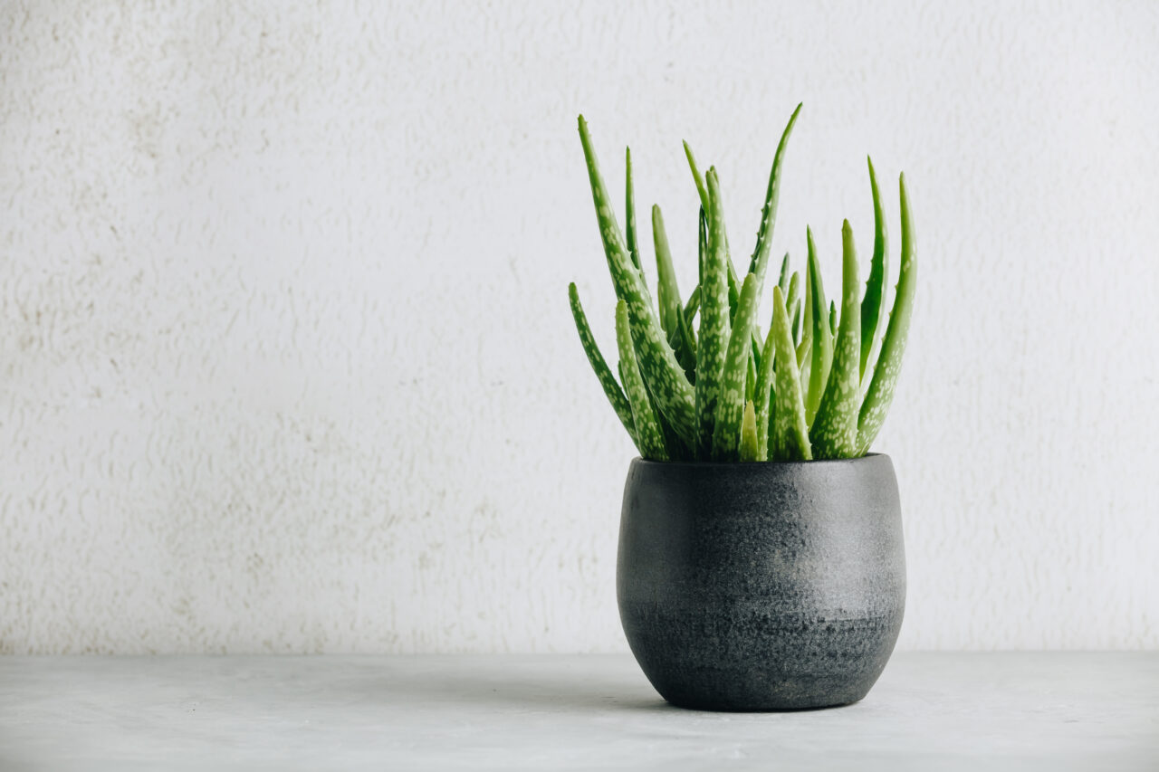 Aloe vera is more than just a plant